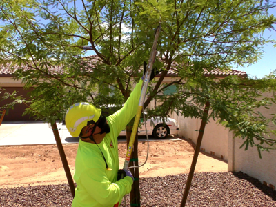 tree care mesquite pruning