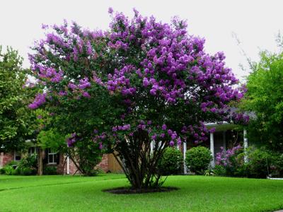Purple Flowering Crape Myrtle Tree in landscape