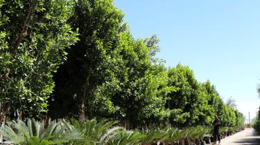 Nursery shade tree row