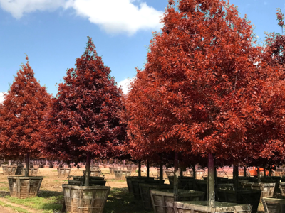 Shumard red oak with red fall color
