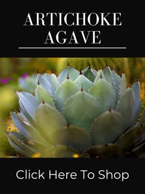 Artichoke Agave Parryi
