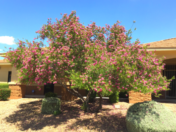 Desert Willow with Purple and Pink Flowers