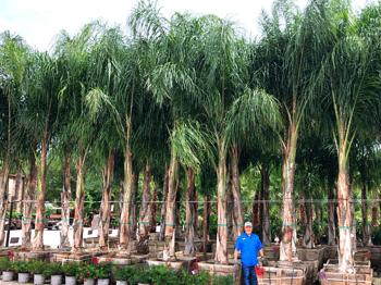 Piru Queen Palm™
