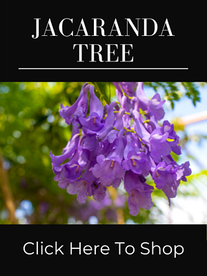 Purple Flowering Jacaranda Mimosa Tree