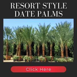 resort style date palms