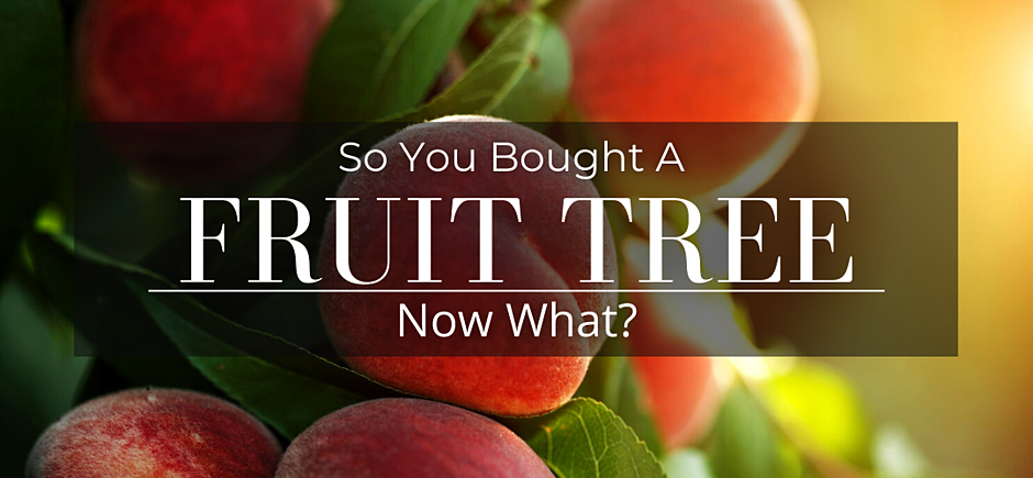 So you bought a fruit tree - peaches