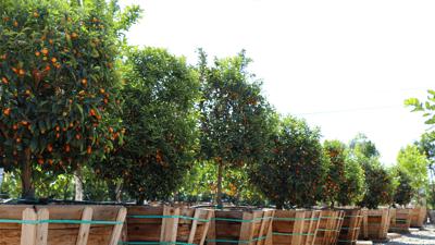 kumquats at nursery