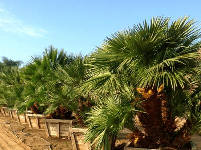 Mediterranean Fan Palms at Moon Valley Nurseries Farm