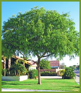 6237721_orig.png & Trees of Summer: Shade Flowering Palm u0026 More!