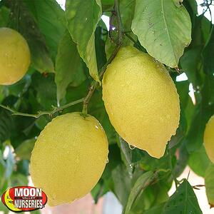 650x650-Lemon