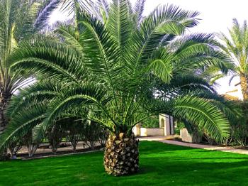 Canary Island Pineapple palm