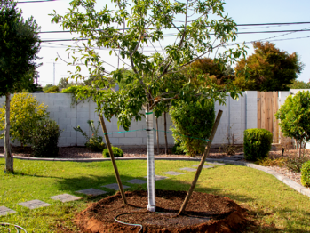 double staked tree with mulch around tree