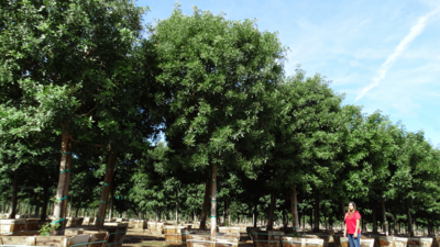 Tru Green elm rows