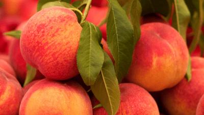 peaches on stem
