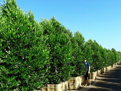 Carolina cherry hedges at moon valley nurseries