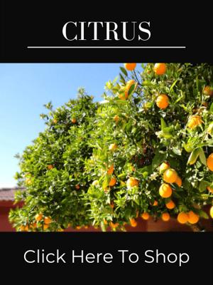 Shop Citrus Trees