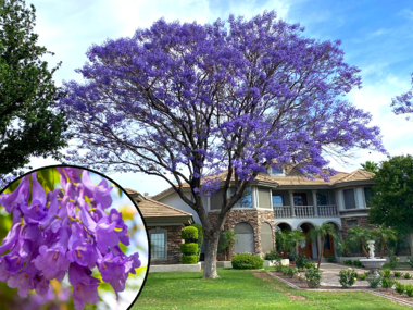 Jacaranda Tree with Purple Flowers