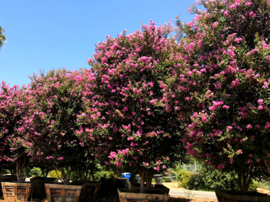 Pink crape myrtle tree with pink flowers
