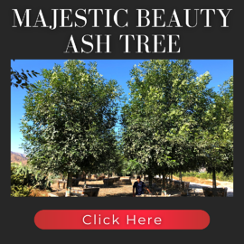 Majestic Beauty Evergreen Ash