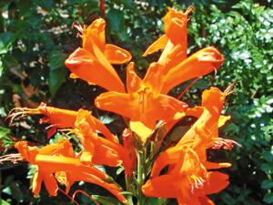 orange cape honeysuckle flowers