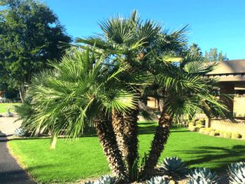 Mediterranean fan palm in landscape