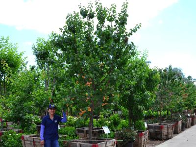 Nectarine tree with fruit
