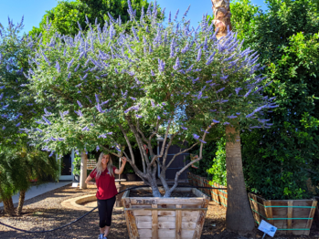 Vitex tree desert lilac tree