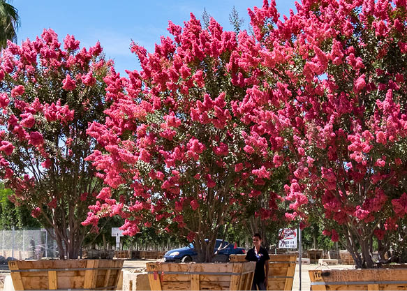 crape myrtles in containers at nursery