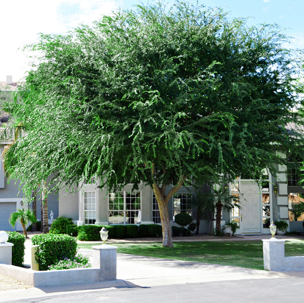 Chinese Elm-1