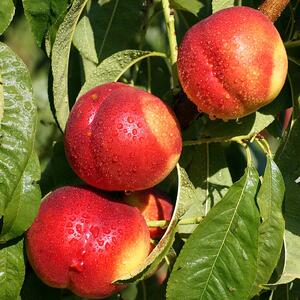 Nectarine on Tree