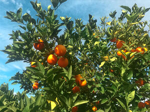 Oranges on tree-2