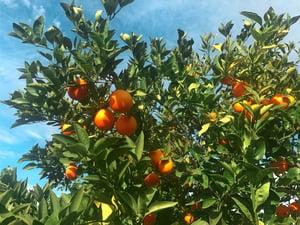 Oranges on tree-2