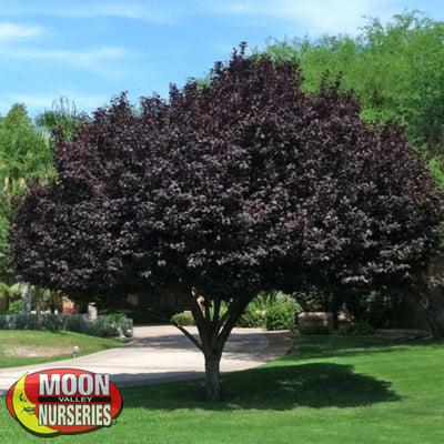 purple plum in green yard