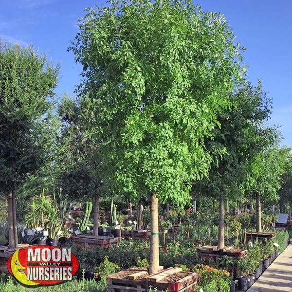 arizona ash tree, trees, moon valley nurseries, fall trees