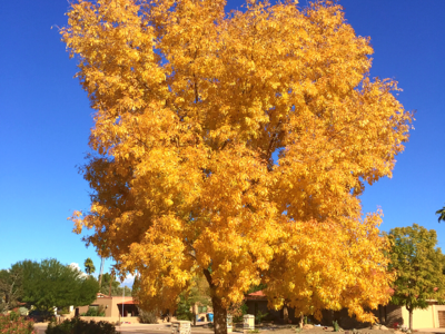Arizona Ash tree with golden fall leaves