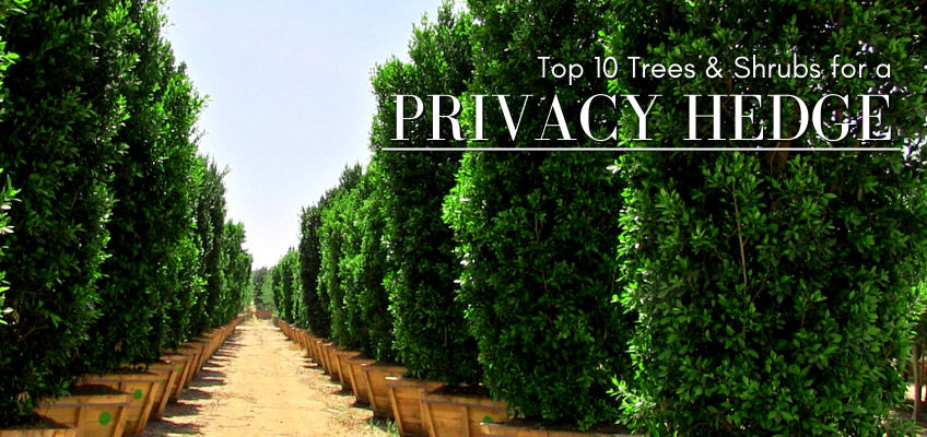 Top 10 trees & shrubs for a privacy hedge