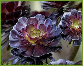 Aeonium-Purple-Queen.png