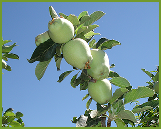 Apple-Tree-2.png