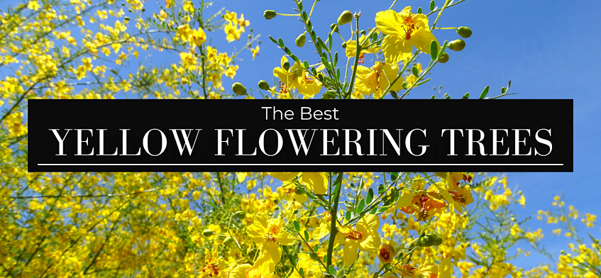 The Best Yellow Flowering Trees