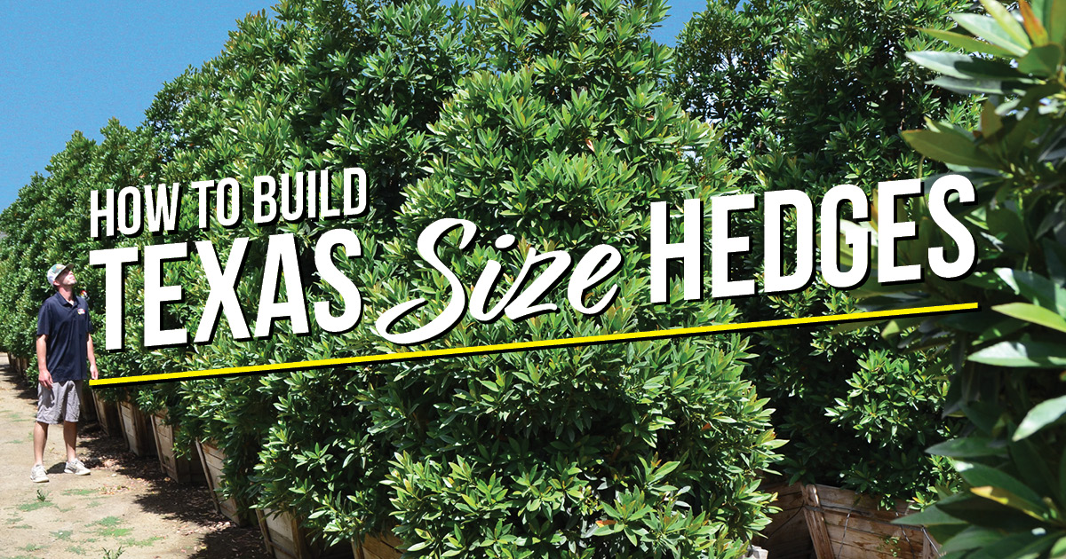 BLOG How to Build a Hollywood-style hedge TX