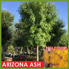 arizona-ash_1