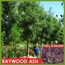 raywood-ash_1