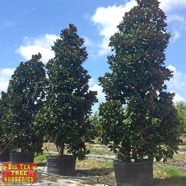 D.D. Blanchard Southern Magnolia