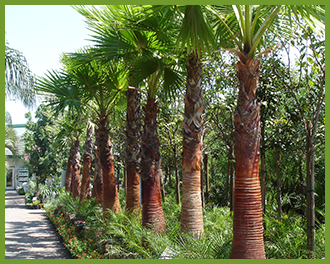 mexican fan palm