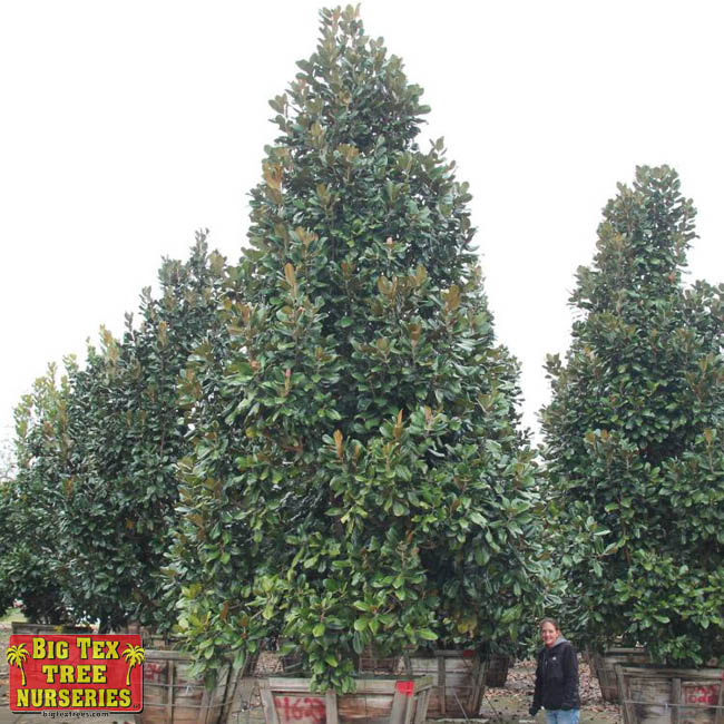 Greenback Southern Magnolia