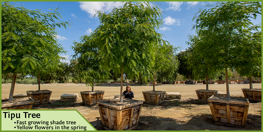 tipu-tree-row_orig