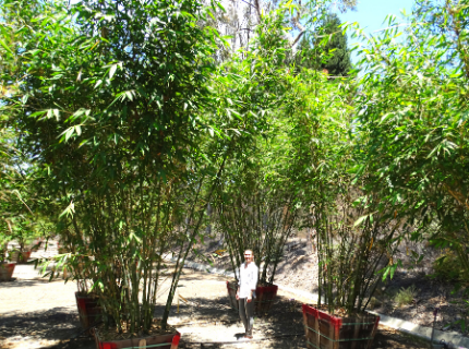 Timber Bamboo for privacy hedges