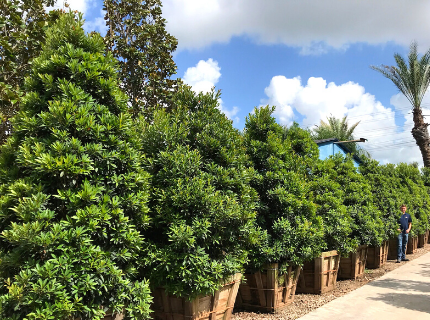 Japanese Green Emerald Blueberry trees for Privacy Hedges