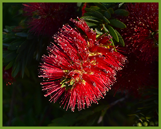 Bottlebrush-2.png