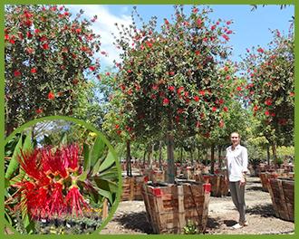Bottlebrush tree red flowers